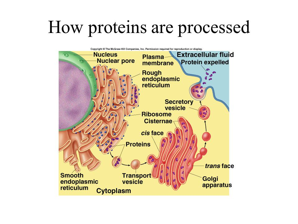 How proteins are processed