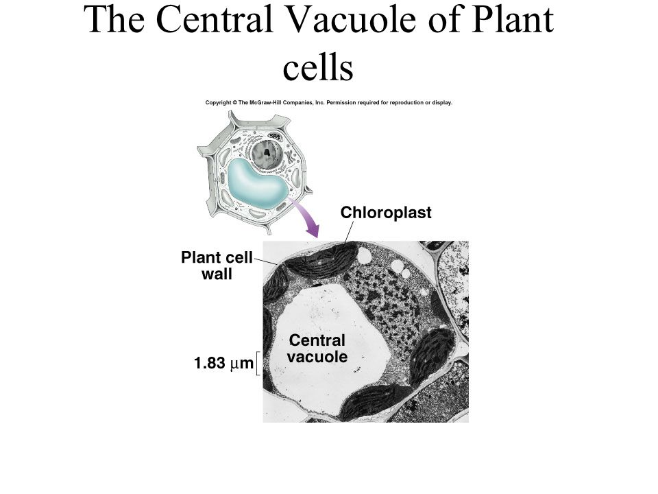 The Central Vacuole of Plant cells