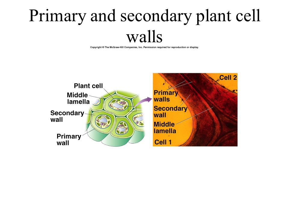 Primary and secondary plant cell walls