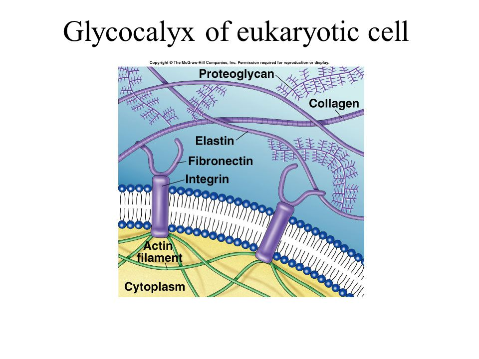 Glycocalyx of eukaryotic cell