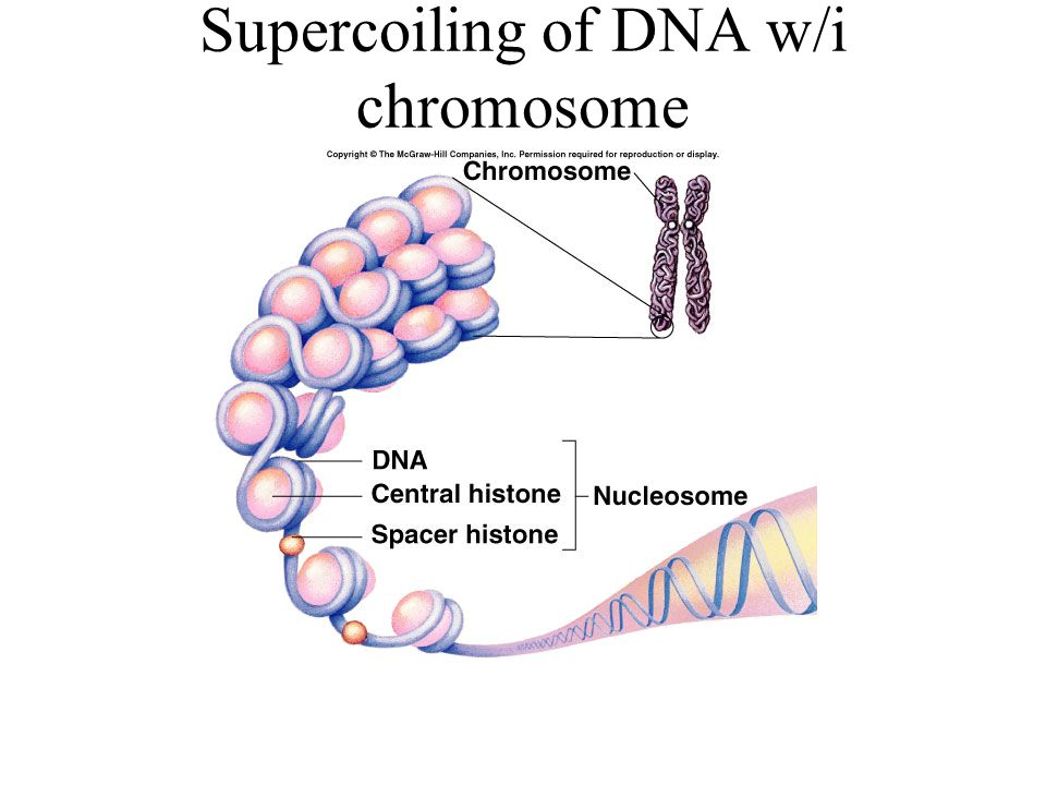 Supercoiling of DNA w/i chromosome