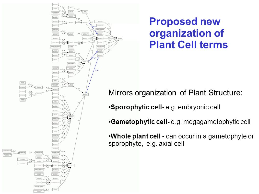Proposed new organization of Plant Cell terms part_of Mirrors organization of Plant Structure: Sporophytic cell- e.g. embryonic cell Gametophytic cell