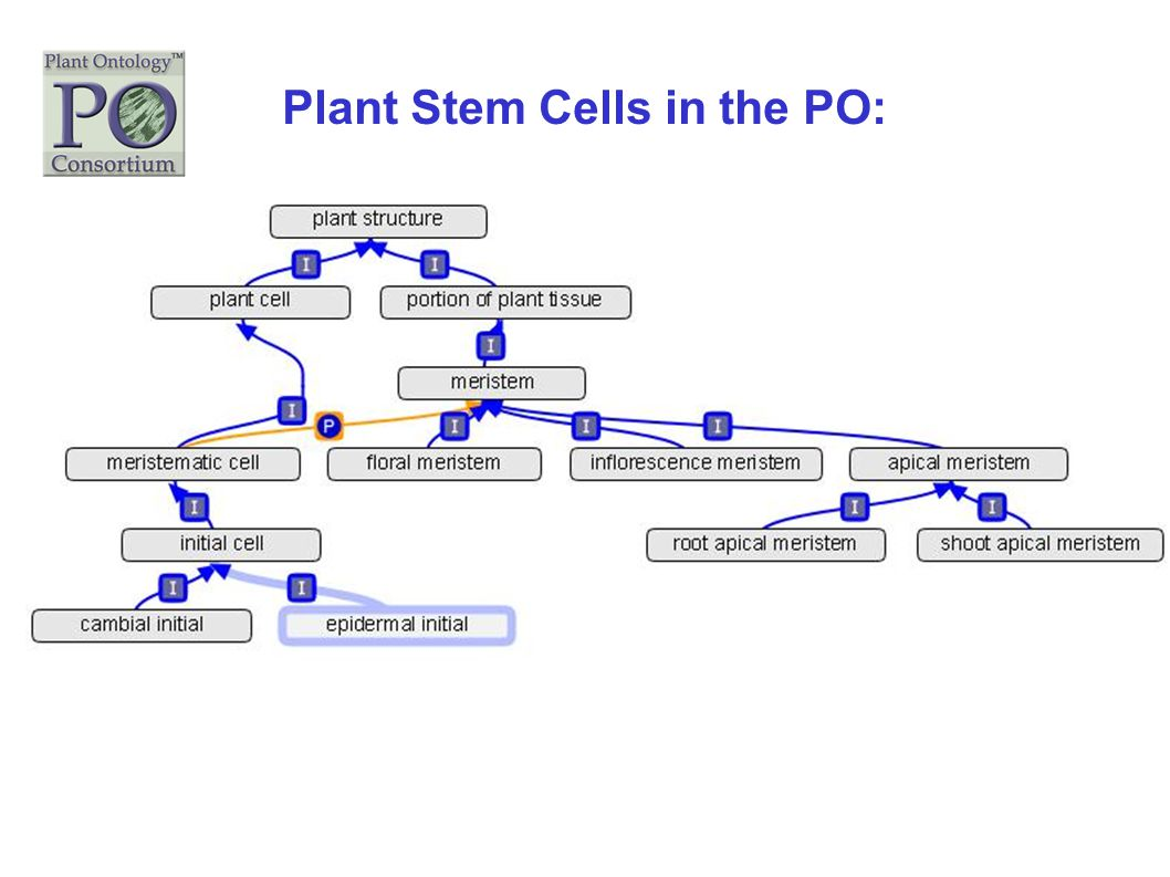 Plant Stem Cells in the PO: