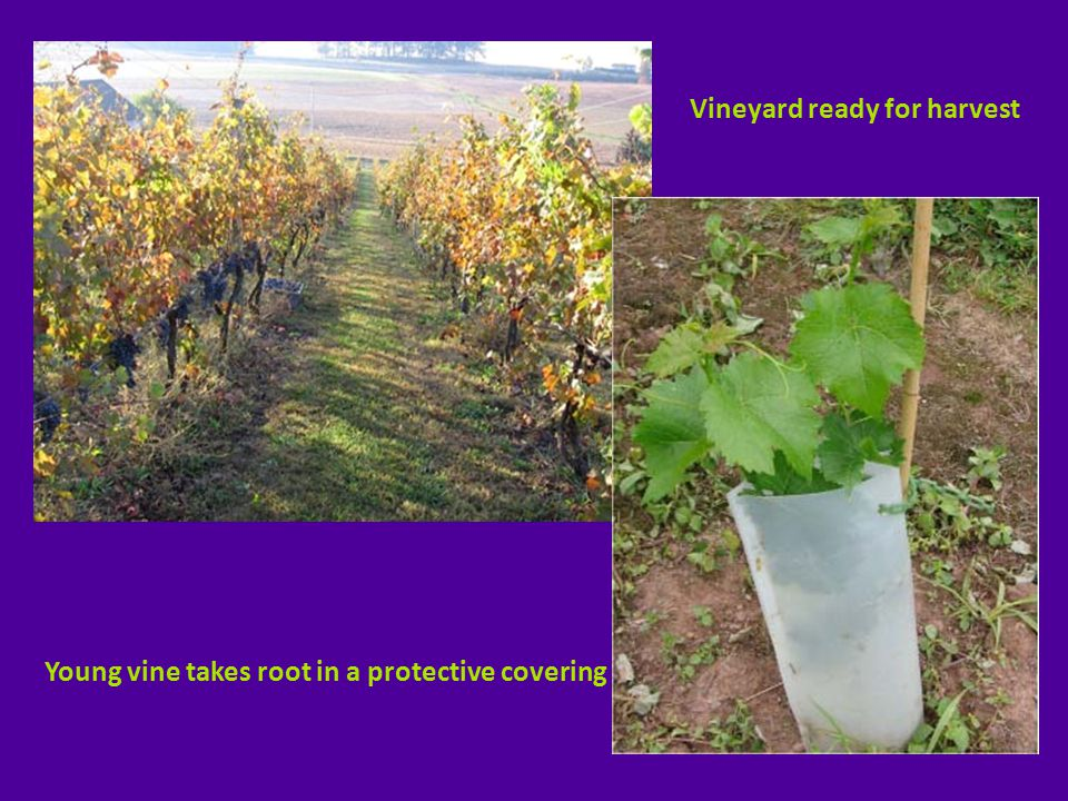 Young vine takes root in a protective covering Vineyard ready for harvest