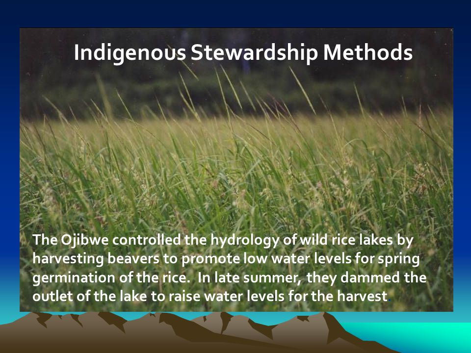 The Ojibwe controlled the hydrology of wild rice lakes by harvesting beavers to promote low water levels for spring germination of the rice.