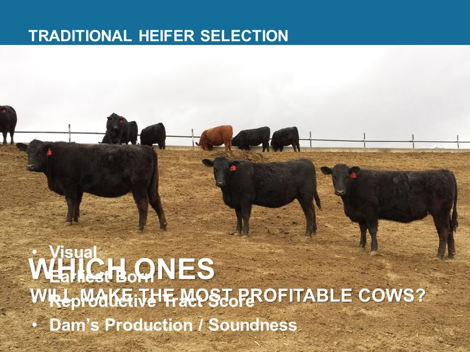 TRADITIONAL HEIFER SELECTION WHICH ONES WILL MAKE THE MOST PROFITABLE COWS.