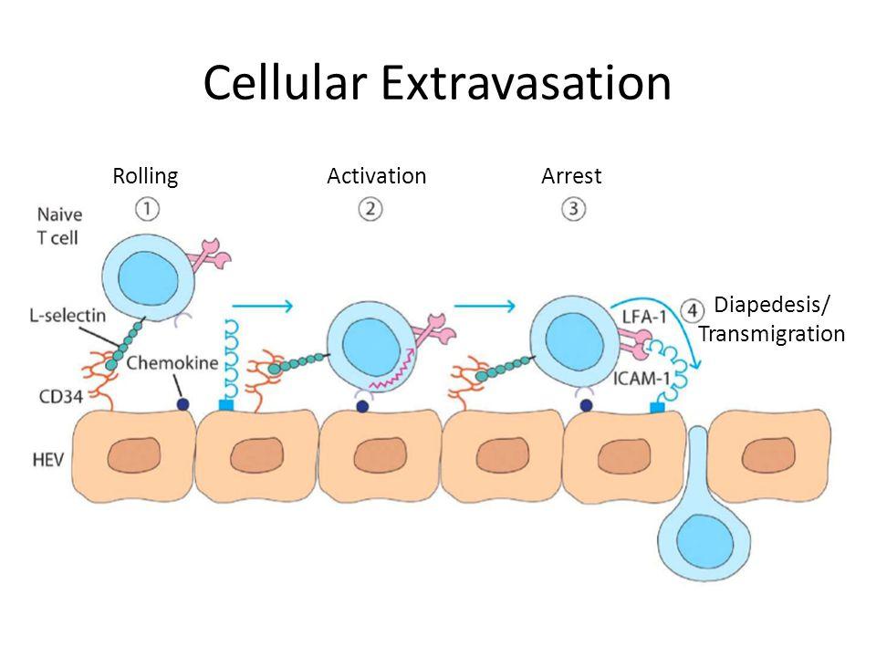 Cellular Extravasation Rolling Activation Arrest Diapedesis/ Transmigration