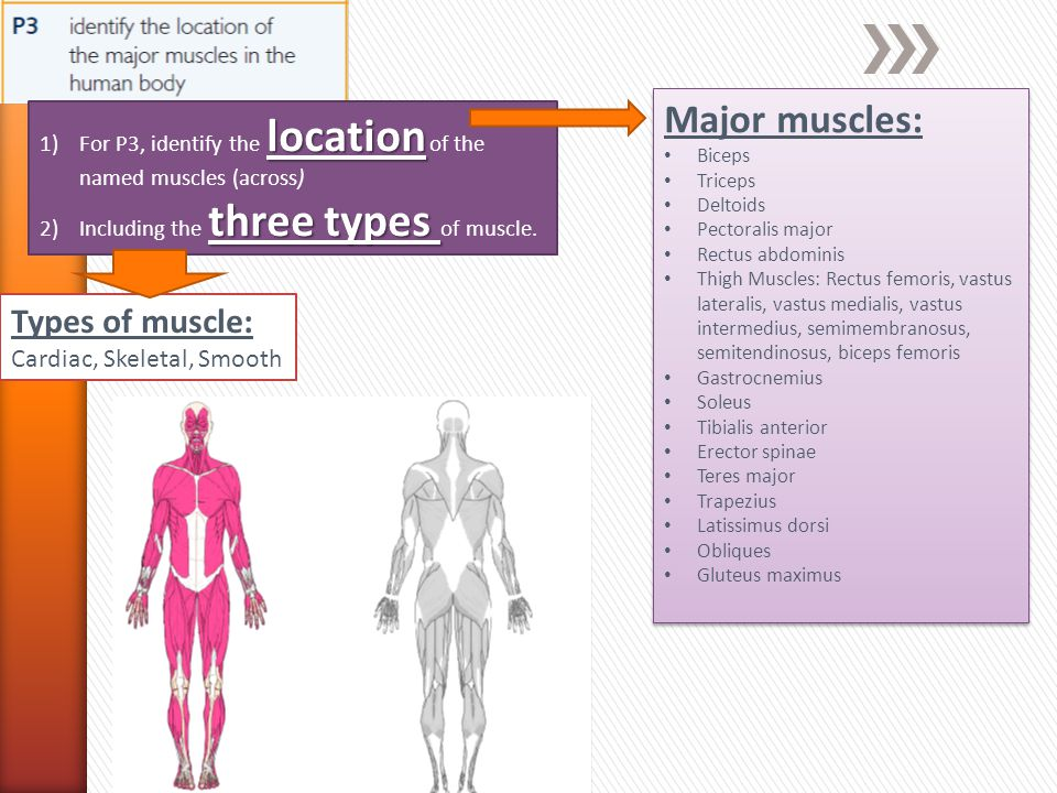 location 1)For P3, identify the location of the named muscles (across) three types 2)Including the three types of muscle.