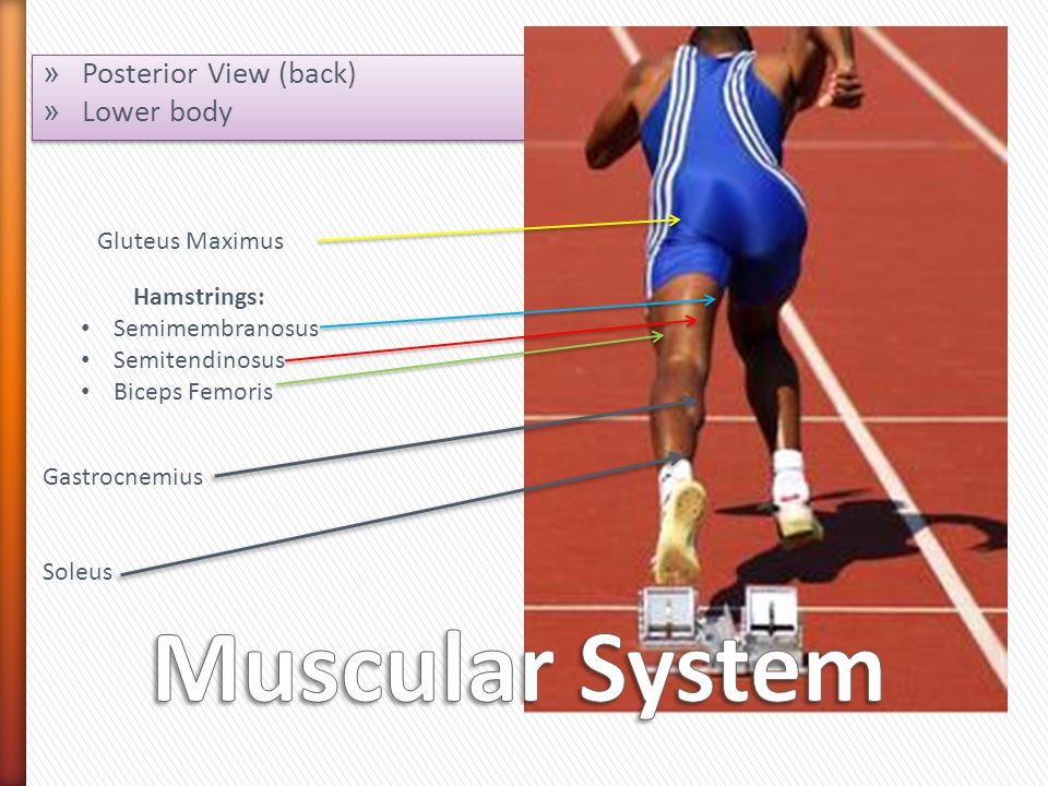 » Posterior View (back) » Lower body » Posterior View (back) » Lower body Gluteus Maximus Hamstrings: Semimembranosus Semitendinosus Biceps Femoris Gastrocnemius Soleus