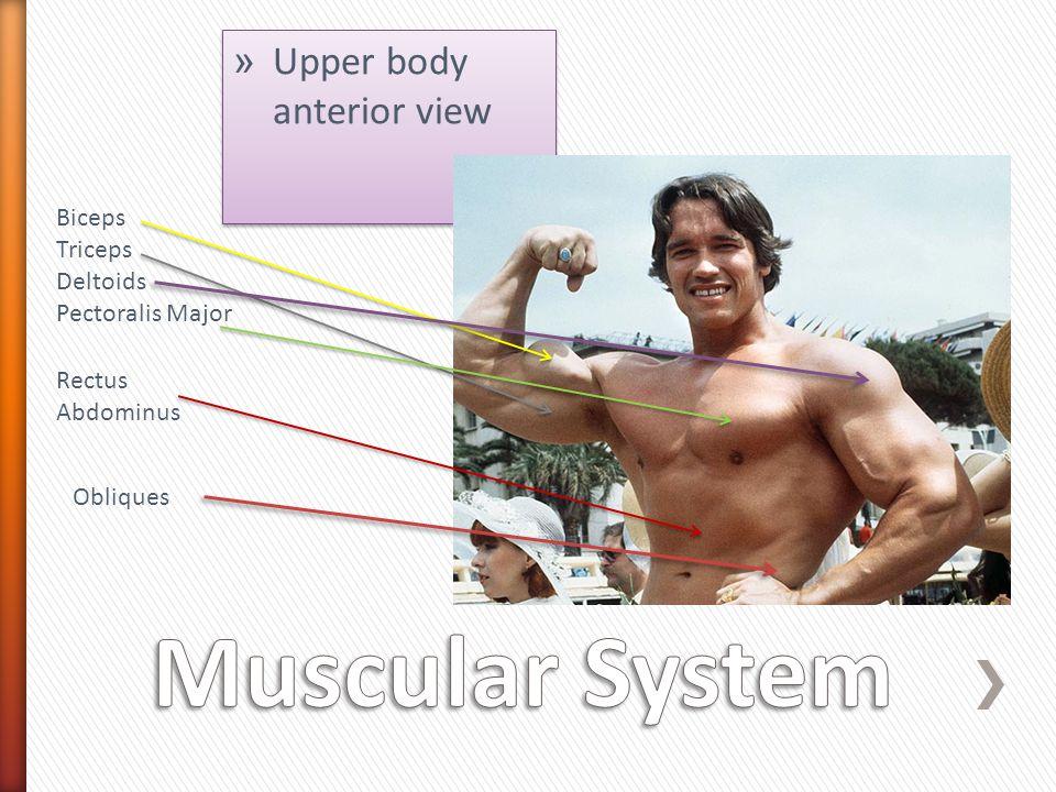 » Upper body anterior view Biceps Triceps Deltoids Pectoralis Major Rectus Abdominus Obliques
