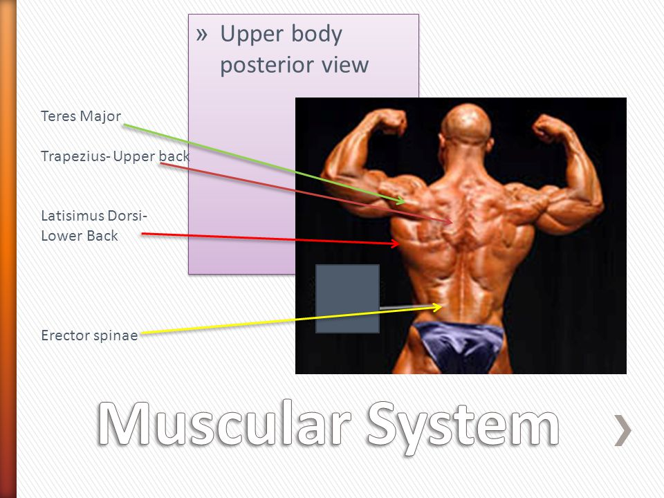» Upper body posterior view Teres Major Trapezius- Upper back Latisimus Dorsi- Lower Back Erector spinae