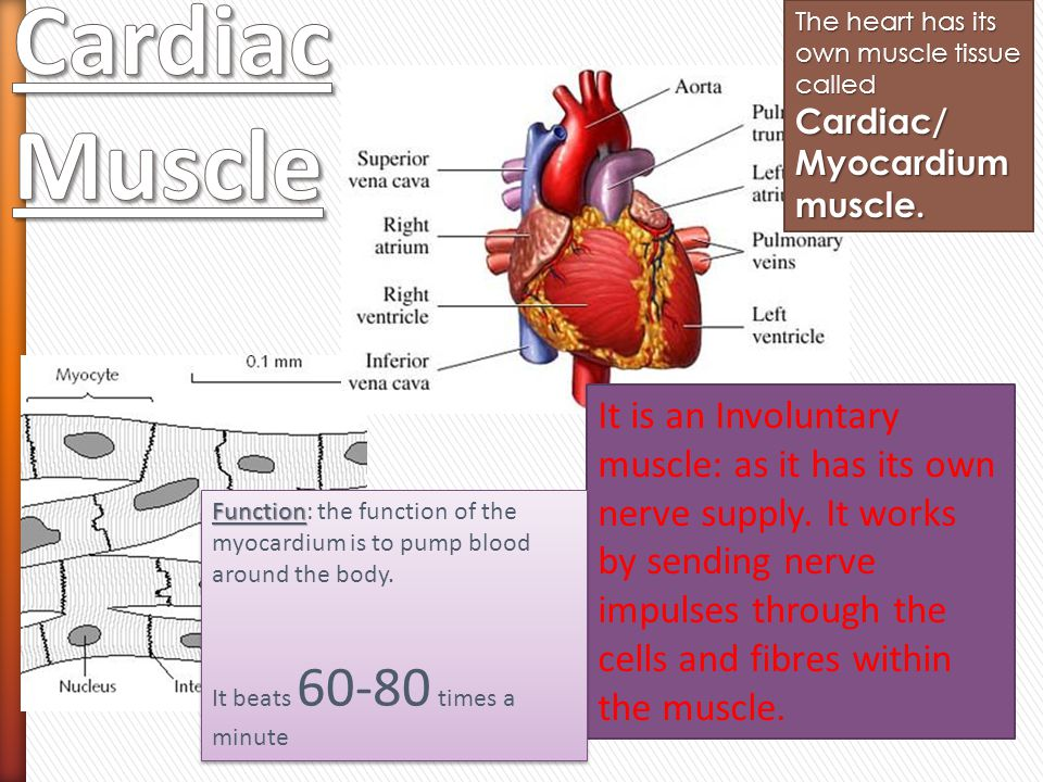 The heart has its own muscle tissue called Cardiac/ Myocardium muscle.