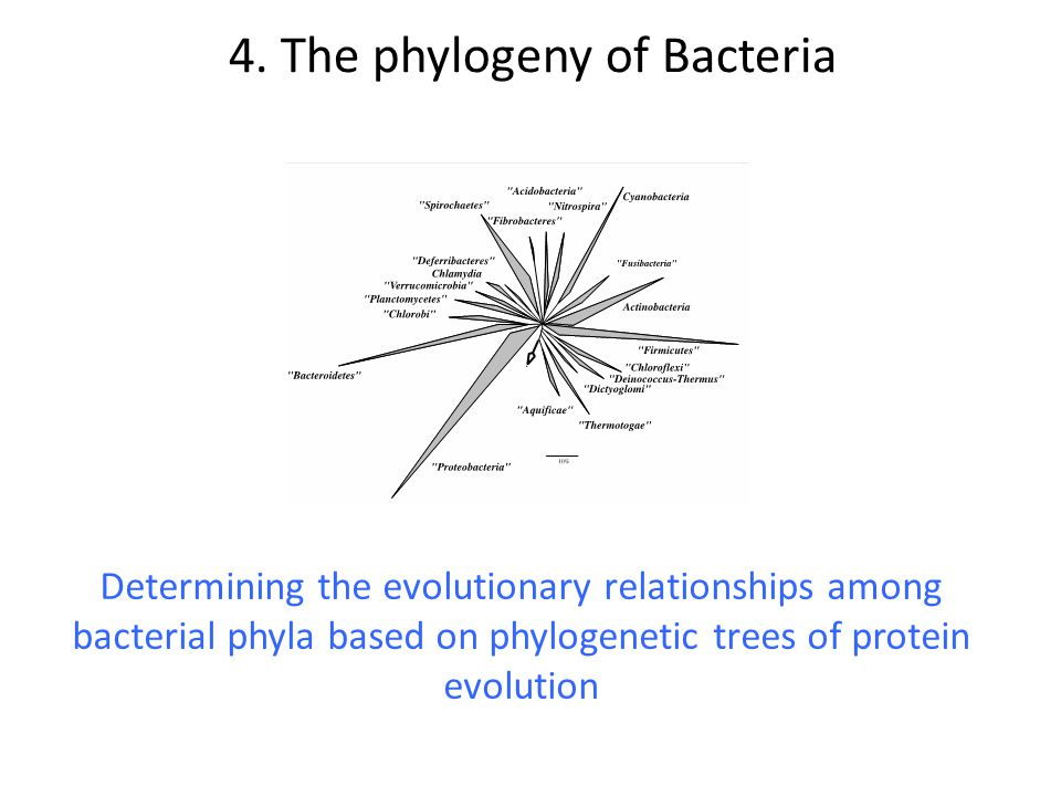 Determining the evolutionary relationships among bacterial phyla based on phylogenetic trees of protein evolution 4. The phylogeny of Bacteria