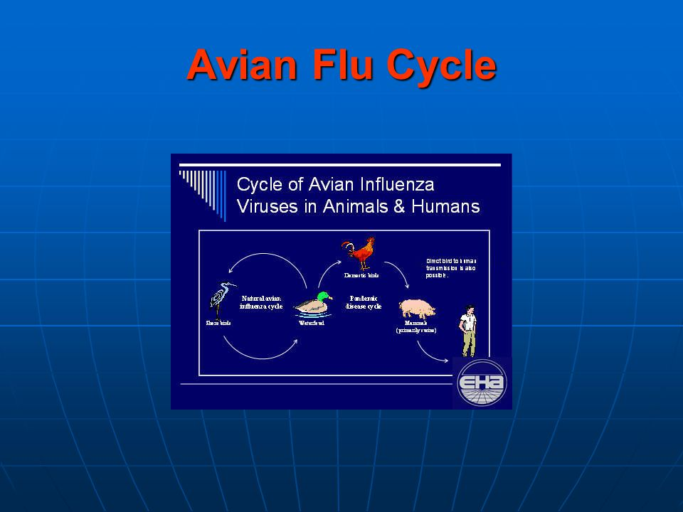 Avian Flu Cycle