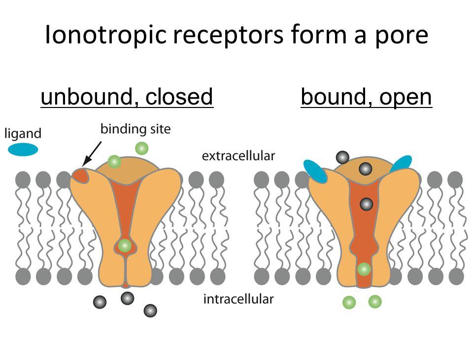 Ionotropic receptors form a pore unbound, closedbound, open