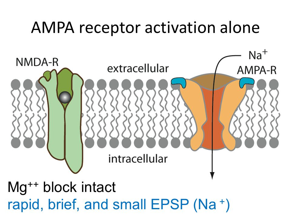 NMDA receptor activation alone Mg ++ block intact no electrical effect