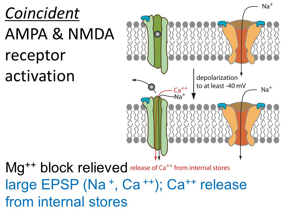 Mg ++ block relieved large EPSP (Na +, Ca ++ ); Ca ++ release from internal stores Coincident AMPA & NMDA receptor activation