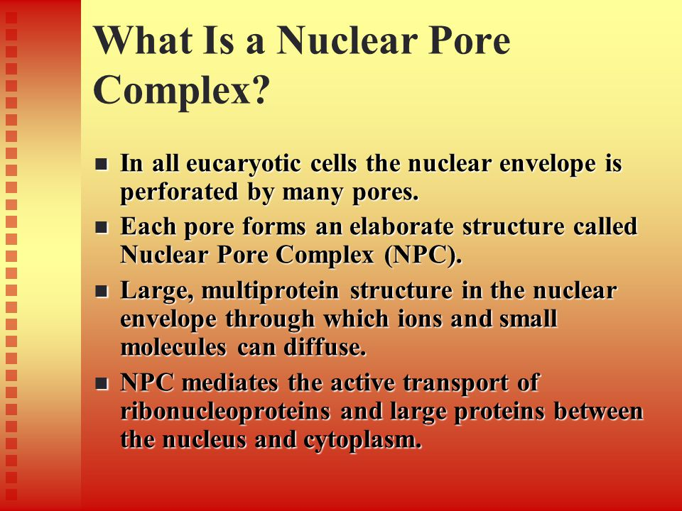 What Is a Nuclear Pore Complex? In all eucaryotic cells the nuclear envelope is perforated by many pores. In all eucaryotic cells the nuclear envelope