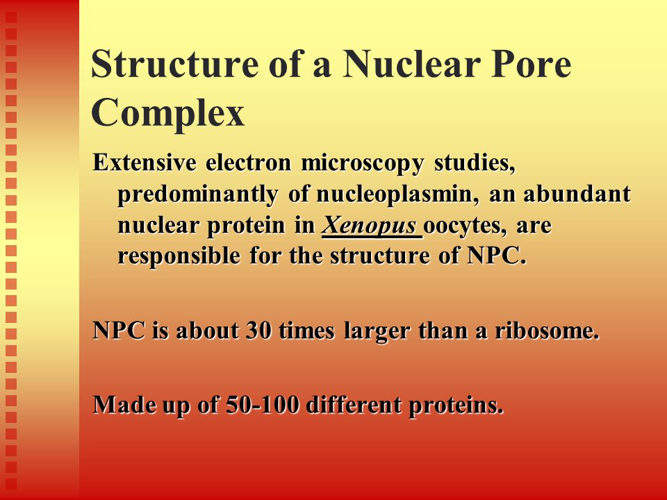 Structure of a Nuclear Pore Complex Extensive electron microscopy studies, predominantly of nucleoplasmin, an abundant nuclear protein in Xenopus oocy