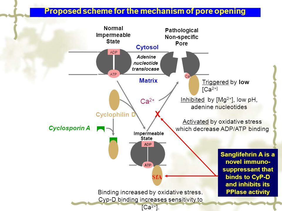Proposed scheme for the mechanism of pore opening ATP ADP Cytosol Matrix Normal Impermeable State Adenine nucleotide translocase Cyclosporin A Activated by oxidative stress which decrease ADP/ATP binding Inhibited by [Mg 2+ ], low pH, adenine nucleotides Ca Triggered by low [Ca 2+] Pathological Non-specific Pore Ca 2+ Binding increased by oxidative stress.