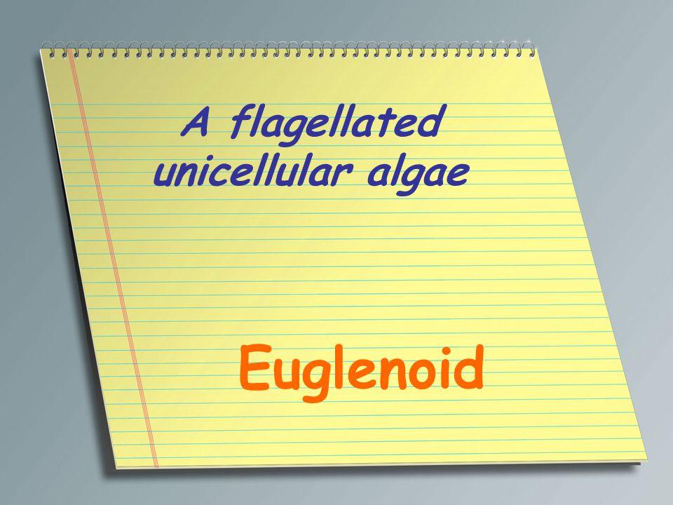 A flagellated unicellular algae Euglenoid