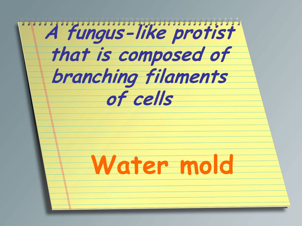 A fungus-like protist that is composed of branching filaments of cells Water mold