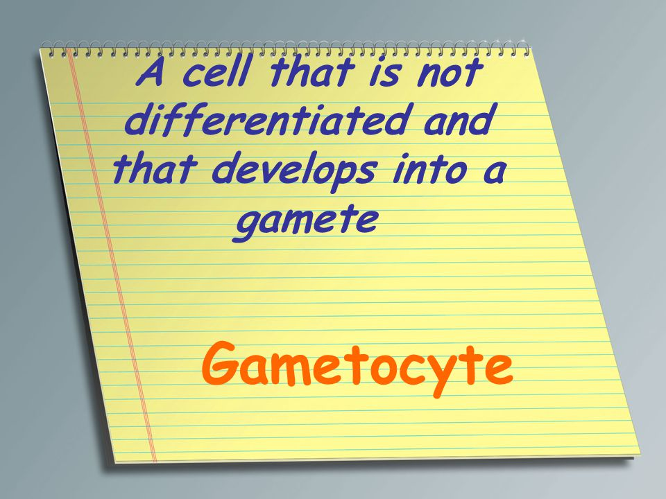 A cell that is not differentiated and that develops into a gamete Gametocyte