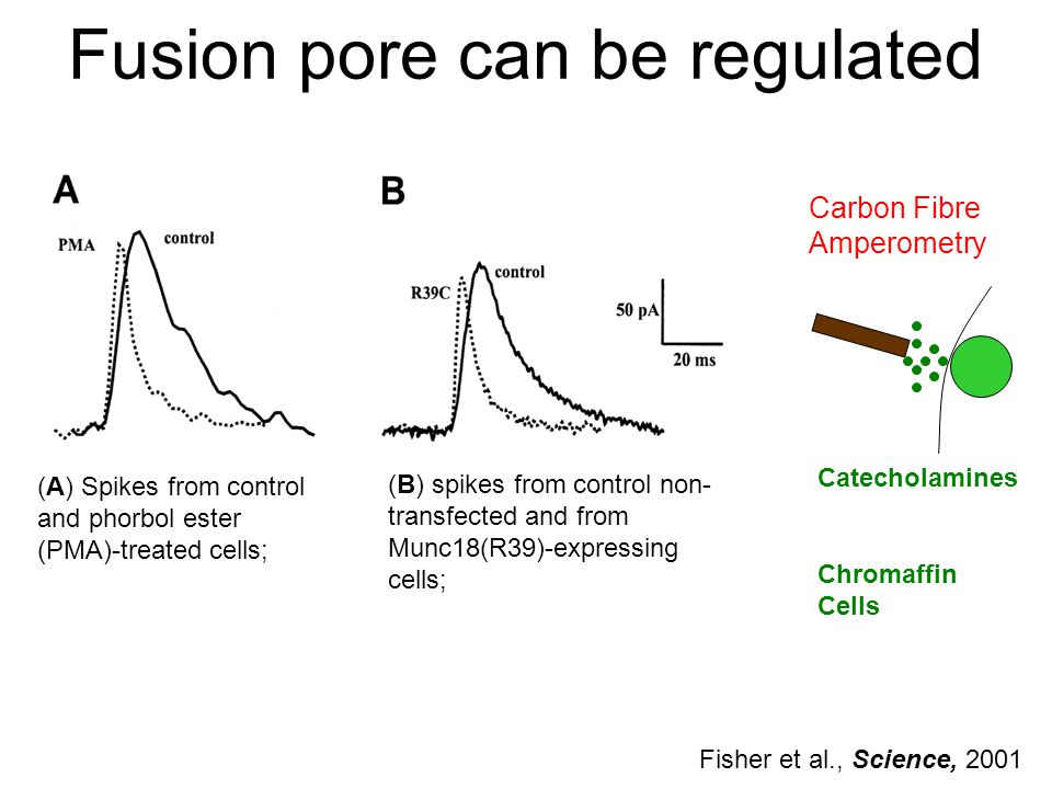 Fusion pore can be regulated (A) Spikes from control and phorbol ester (PMA)-treated cells; (B) spikes from control non- transfected and from Munc18(R39)-expressing cells; Catecholamines Carbon Fibre Amperometry Chromaffin Cells Fisher et al., Science, 2001