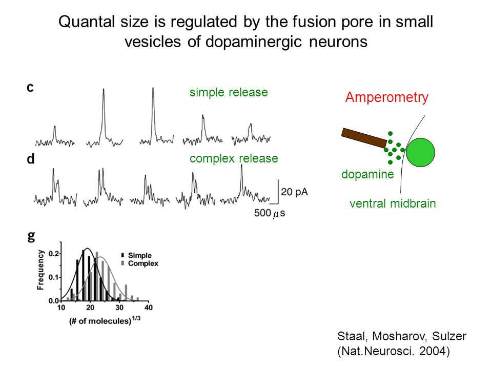 Quantal size is regulated by the fusion pore in small vesicles of dopaminergic neurons  Staal, Mosharov, Sulzer (Nat.Neurosci.