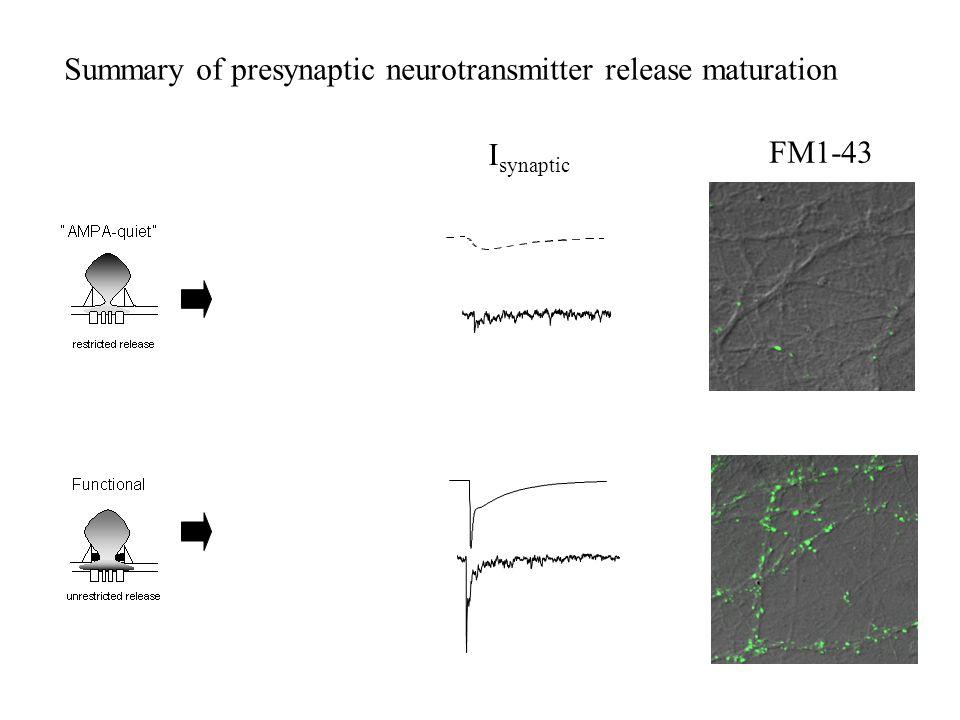Summary of presynaptic neurotransmitter release maturation I synaptic FM1-43 = =