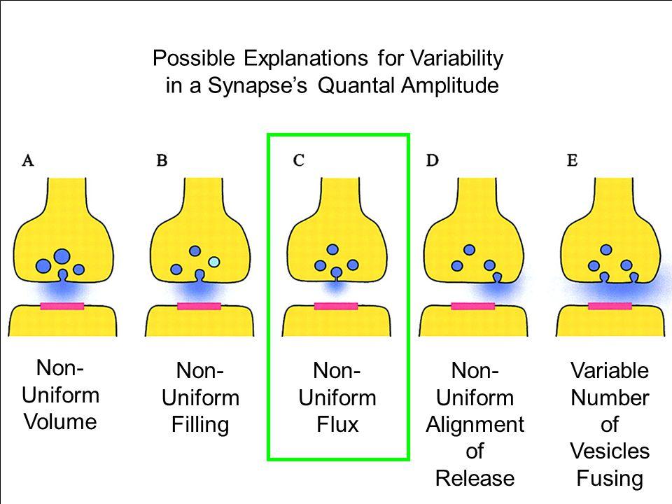Non- Uniform Volume Non- Uniform Filling Non- Uniform Flux Non- Uniform Alignment of Release Variable Number of Vesicles Fusing Possible Explanations for Variability in a Synapse's Quantal Amplitude