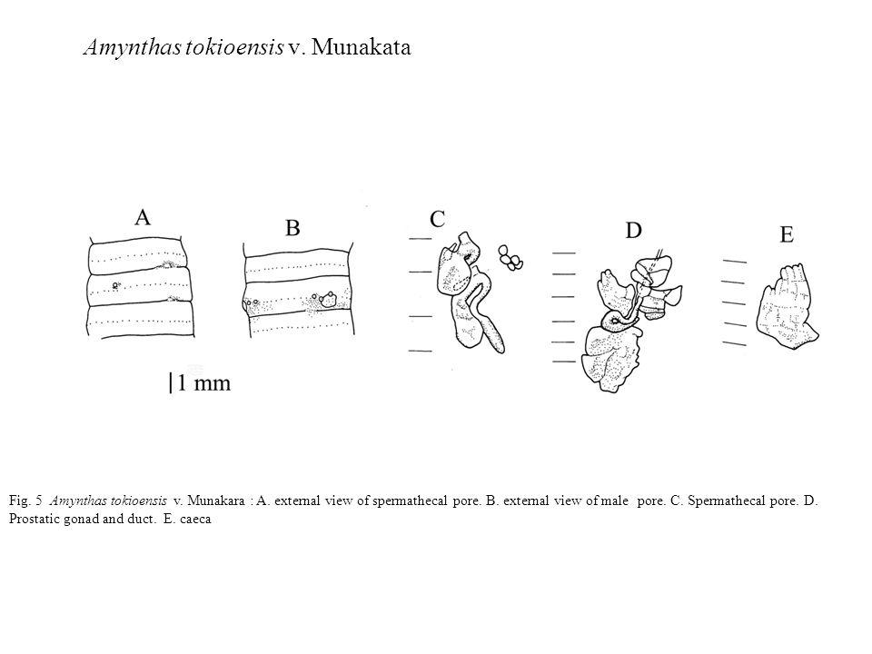 Fig.6 Amynthas tokioensis v.Homan : A. Ventral view of spermathecal pore.