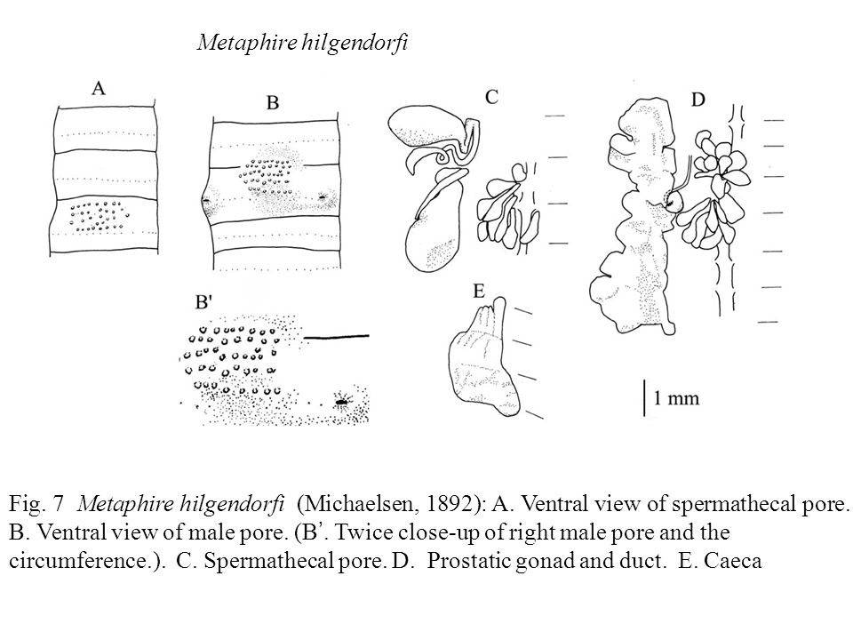 Fig. 7 Metaphire hilgendorfi (Michaelsen, 1892): A. Ventral view of spermathecal pore. B. Ventral view of male pore. (B '. Twice close-up of right mal