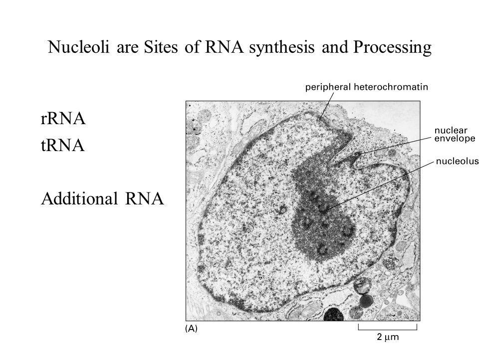 Nucleoli are Sites of RNA synthesis and Processing rRNA tRNA Additional RNA