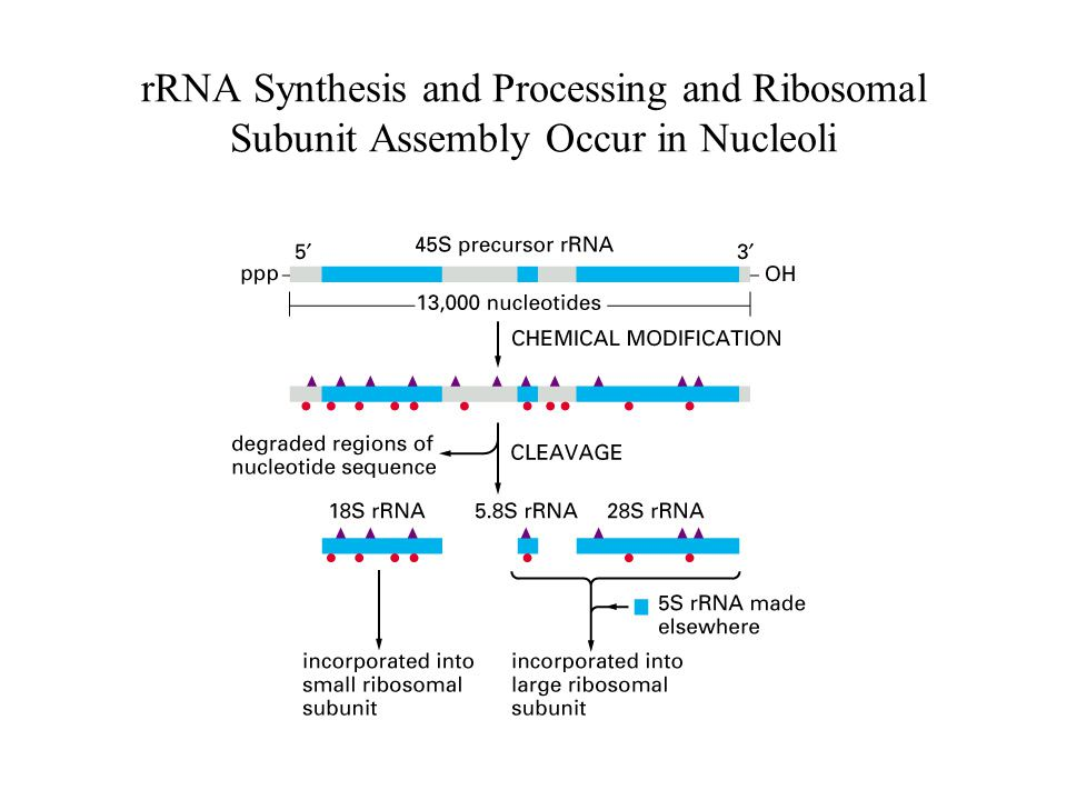 rRNA Synthesis and Processing and Ribosomal Subunit Assembly Occur in Nucleoli