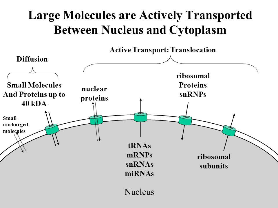 Large Molecules are Actively Transported Between Nucleus and Cytoplasm Nucleus ribosomal Proteins snRNPs ribosomal subunits tRNAs mRNPs snRNAs miRNAs nuclear proteins Small Molecules And Proteins up to 40 kDA Diffusion Active Transport: Translocation Small uncharged molecules