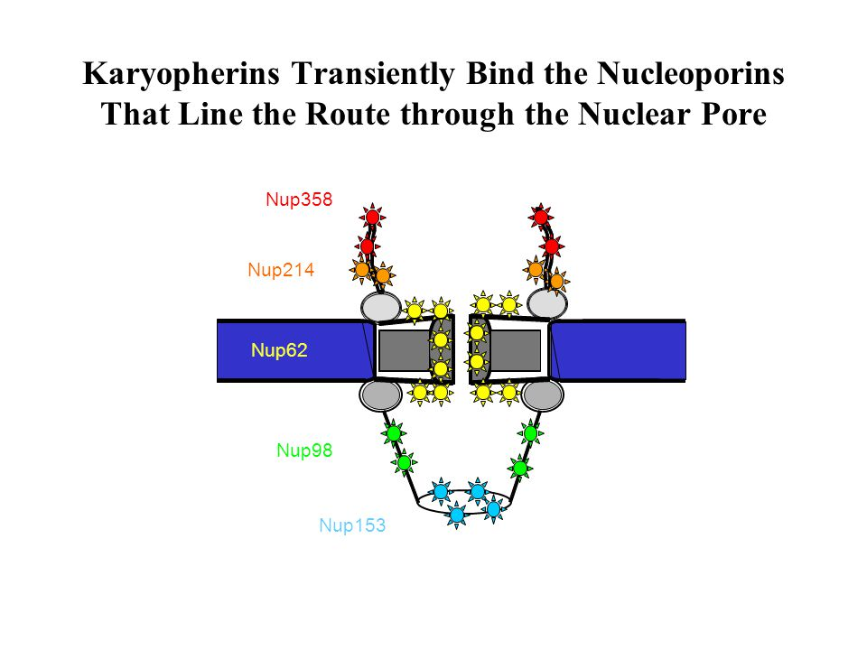Karyopherins Transiently Bind the Nucleoporins That Line the Route through the Nuclear Pore Nup358 Nup214 Nup62 Nup98 Nup153