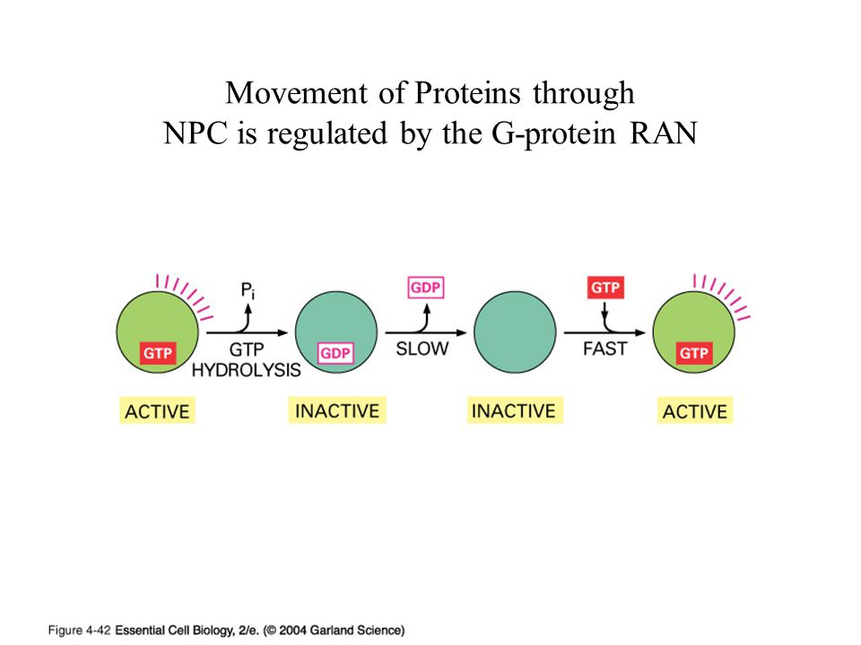 Movement of Proteins through NPC is regulated by the G-protein RAN
