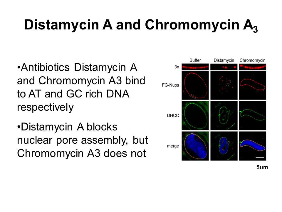 Distamycin A and Chromomycin A 3 Antibiotics Distamycin A and Chromomycin A3 bind to AT and GC rich DNA respectively Distamycin A blocks nuclear pore assembly, but Chromomycin A3 does not 5um