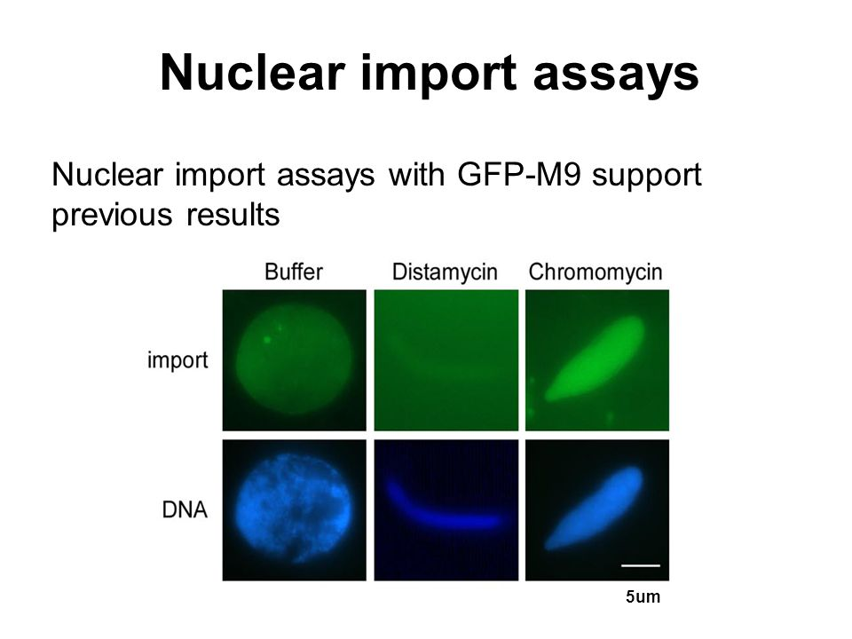 Nuclear import assays Nuclear import assays with GFP-M9 support previous results 5um