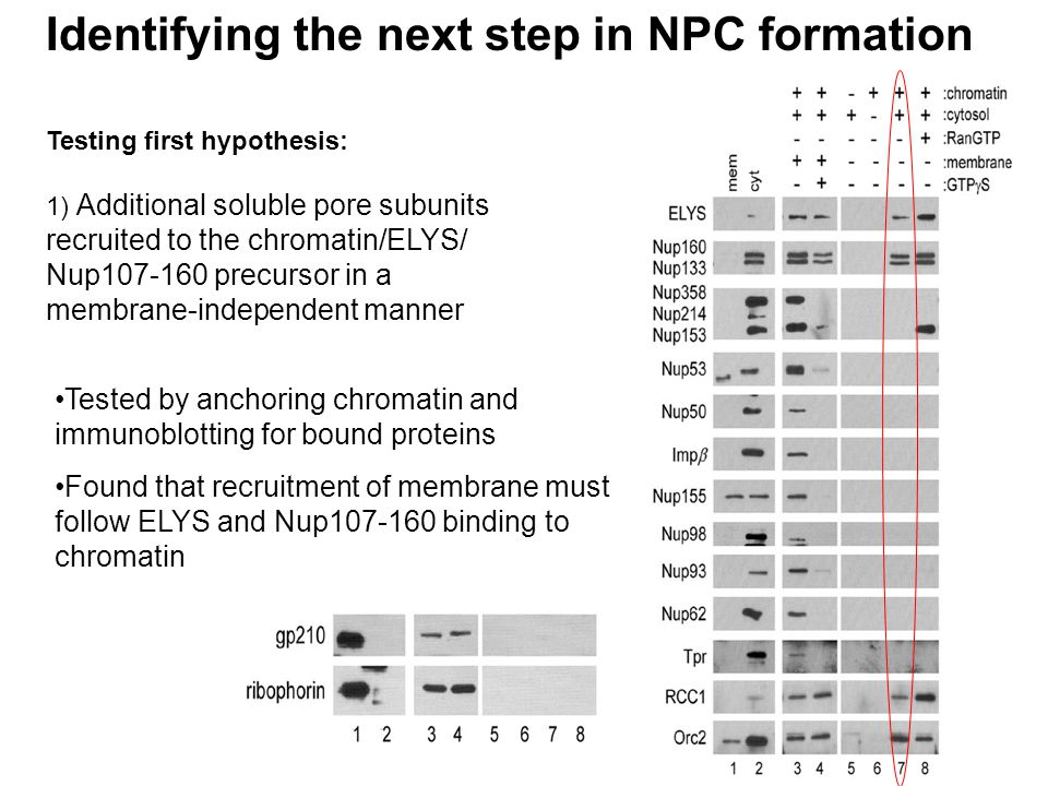 Testing first hypothesis: 1) Additional soluble pore subunits recruited to the chromatin/ELYS/ Nup107-160 precursor in a membrane-independent manner Identifying the next step in NPC formation Tested by anchoring chromatin and immunoblotting for bound proteins Found that recruitment of membrane must follow ELYS and Nup107-160 binding to chromatin