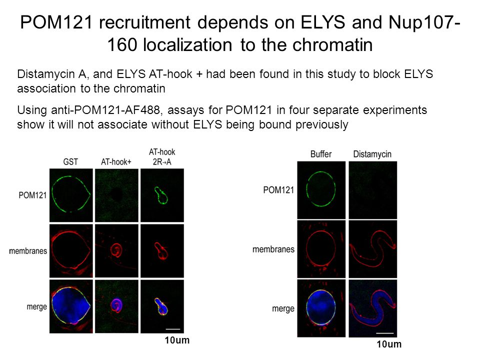 POM121 recruitment depends on ELYS and Nup107- 160 localization to the chromatin Distamycin A, and ELYS AT-hook + had been found in this study to block ELYS association to the chromatin Using anti-POM121-AF488, assays for POM121 in four separate experiments show it will not associate without ELYS being bound previously 10um