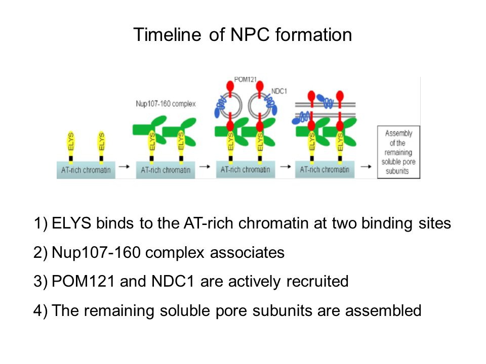 Timeline of NPC formation 1)ELYS binds to the AT-rich chromatin at two binding sites 2)Nup107-160 complex associates 3)POM121 and NDC1 are actively recruited 4)The remaining soluble pore subunits are assembled