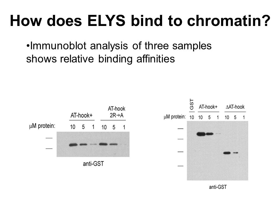 How does ELYS bind to chromatin.