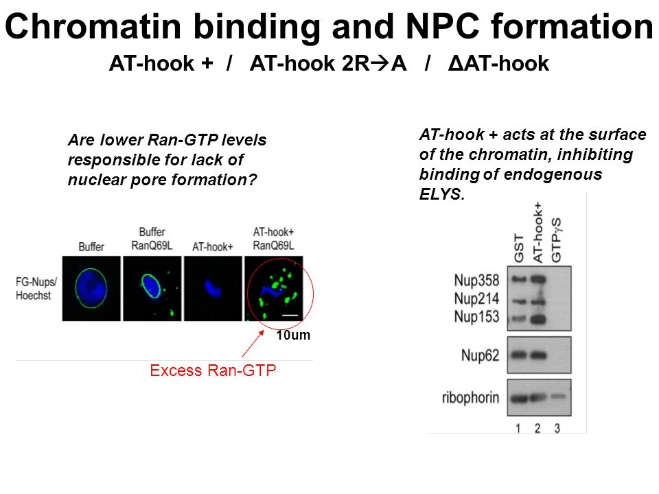 Chromatin binding and NPC formation AT-hook + / AT-hook 2R  A / ΔAT-hook Are lower Ran-GTP levels responsible for lack of nuclear pore formation.