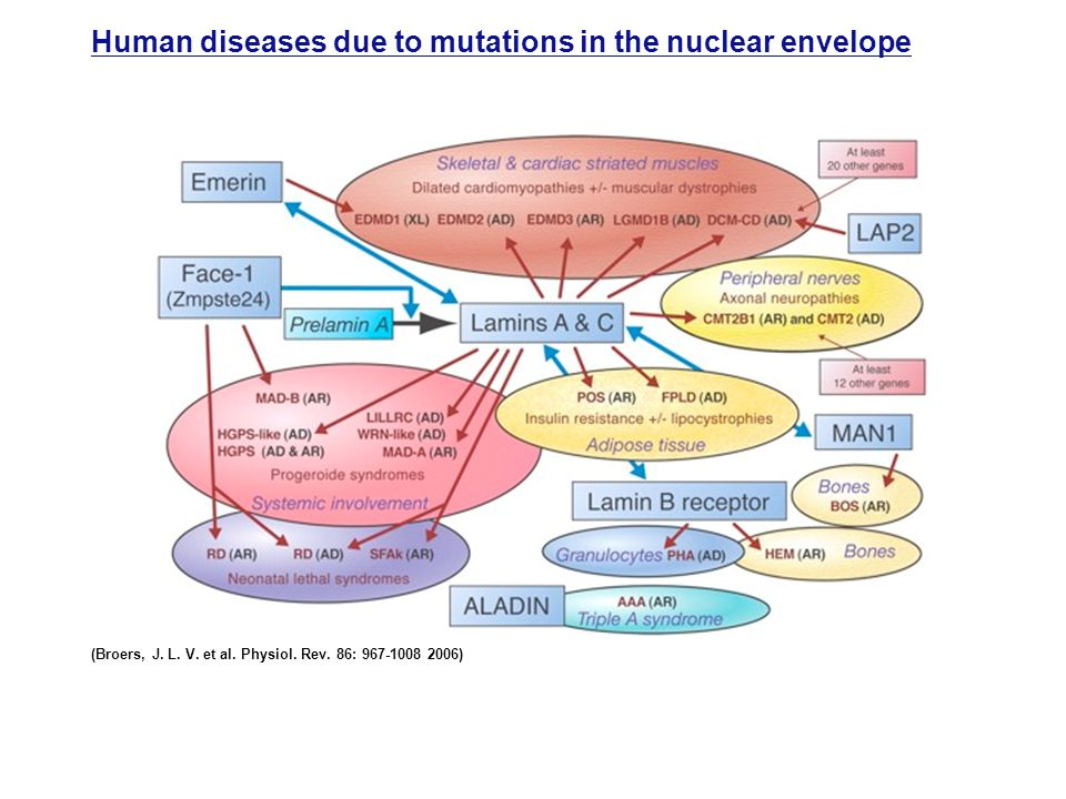Human diseases due to mutations in the nuclear envelope (Broers, J.
