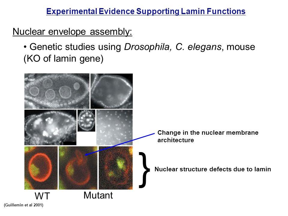 Experimental Evidence Supporting Lamin Functions Nuclear envelope assembly: Genetic studies using Drosophila, C. elegans, mouse (KO of lamin gene) Nuc