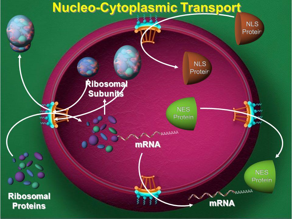 mRNA mRNA RibosomalSubunits RibosomalProteins Nucleo-Cytoplasmic Transport