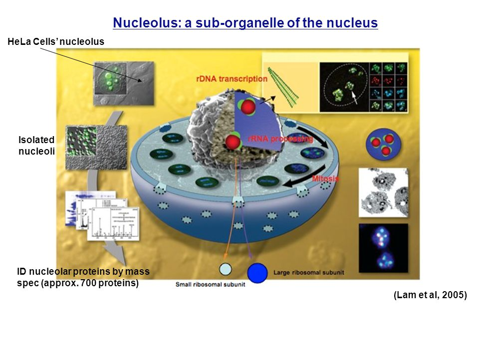 Nucleolus: a sub-organelle of the nucleus HeLa Cells' nucleolus Isolated nucleoli ID nucleolar proteins by mass spec (approx.