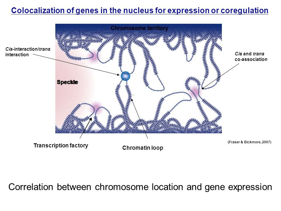 Colocalization of genes in the nucleus for expression or coregulation (Fraser & Bickmore, 2007) Correlation between chromosome location and gene expression Cis and trans co-association Cis-interaction/trans interaction Speckle Chromatin loop Transcription factory